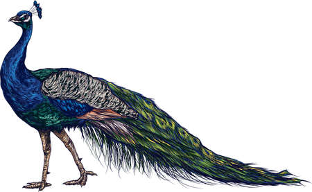 peacock Ilustração