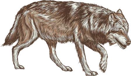wolf Illusztráció
