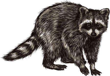 アライグマ