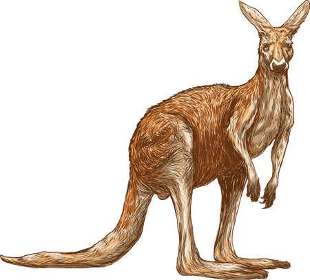 kangaroo Zdjęcie Seryjne - 79145081