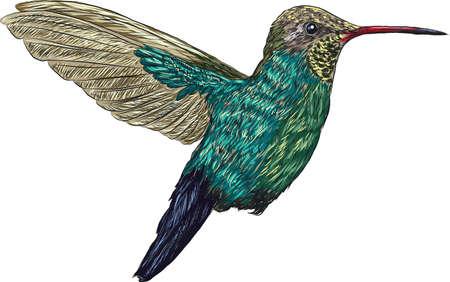 hummingbird Ilustrace