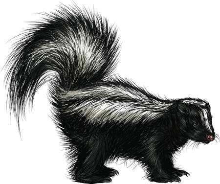 2238 Skunk Stock Illustrations Cliparts And Royalty Free Skunk Vectors