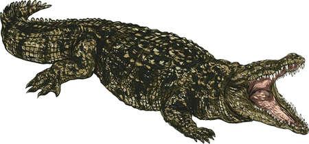 crocodile Illusztráció