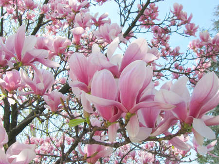 Magnolia flowers photo