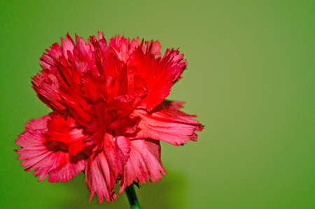 Red carnation on the green background photo