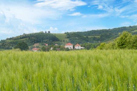 bellow: Trigo y campo debajo de cielo azul Foto de archivo