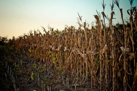 Cornfield, ready for harvest, at sunset photo