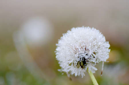 Macro shot of the frozen dandelion photo