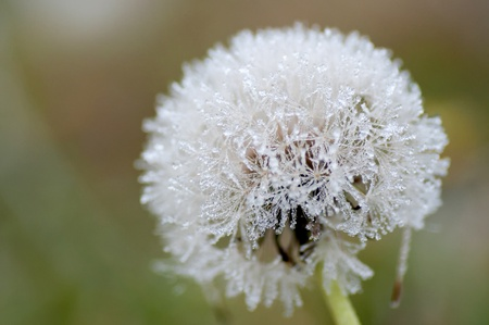 Macro shot of the rimy dandelion photo