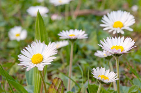 Field of daisy in the grass Stock Photo - 12958072