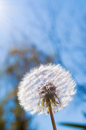 Dandelion with blurred branches, sun rays and sky in the background photo