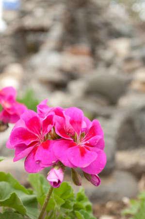 Pink geraniums in the garden photo