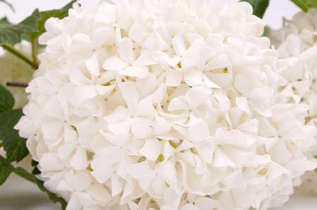 guelderrose: Close-up shot of white guelder-rose