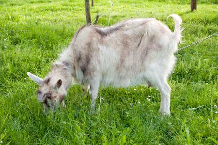 Goat graze on the meadow Stock Photo - 13542726
