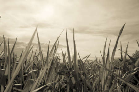 Sepia toned image of the wheat field and sky photo