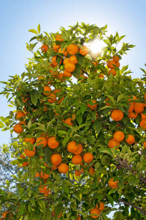 Branches of orange fruit tree with sun rays through branches photo