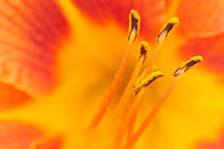 oranje lelie: Oranje lelie stamper - macro shot