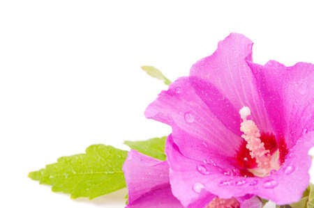 Wet hibiscus flower on the white background - focus on the pestle photo
