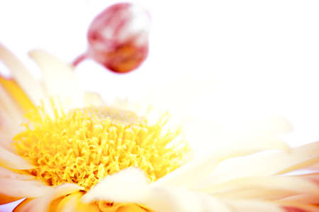 alergy: Macro shot of yellow flower with bud and copy space in the background Stock Photo