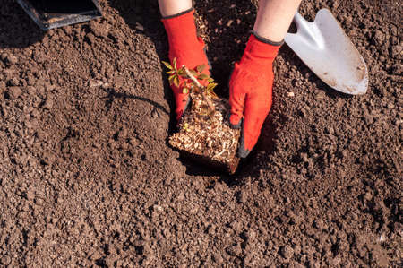 planting raspberries in open ground