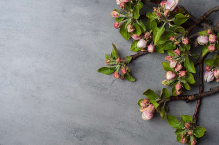 branches of a blossoming apple tree on a grey background.Top view 版權商用圖片