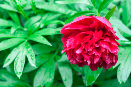 Beautiful bright peony flower. blooming peony in the garden on a blurry background of green peony leaves close up in spring