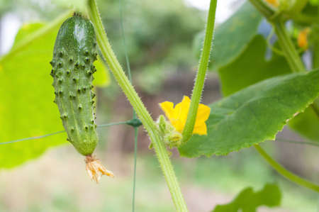 Young plant cucumber with yellow flowers. Juicy fresh cucumber close-up macro on a background of leaves