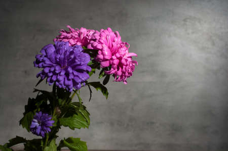 autumn chrysanthemums on gray background 版權商用圖片
