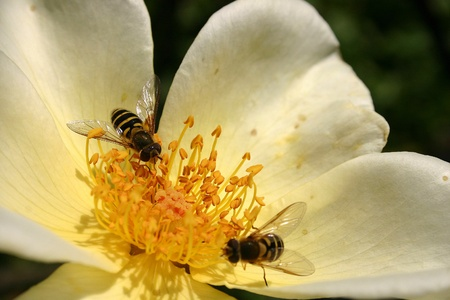 white color worker: Close up of two bees busy on a delicate flower