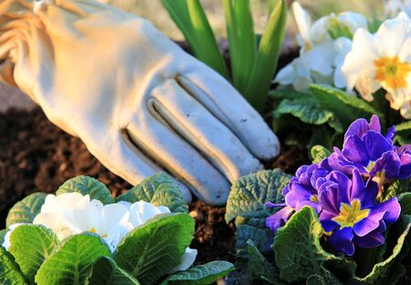 cowslip: Gardening primroses with leather gloves  Stock Photo