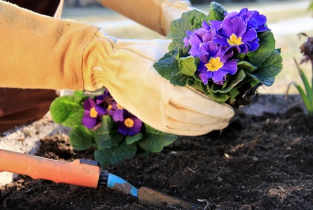 gardening gloves: Outdoor work , plant a primrose in a garden pot Stock Photo