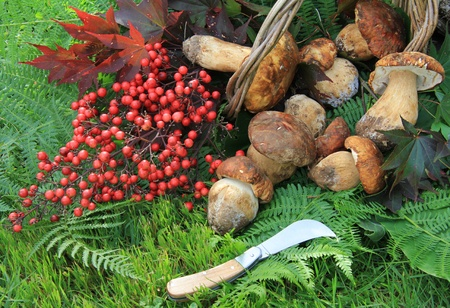 Wicker basket full of mushrooms . Composition with fern , red berries and a knife. Stock Photo - 13897596