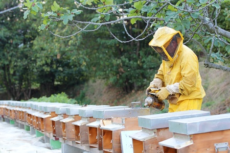 beekeeper: Beekeeper with smoker over a row of beehives