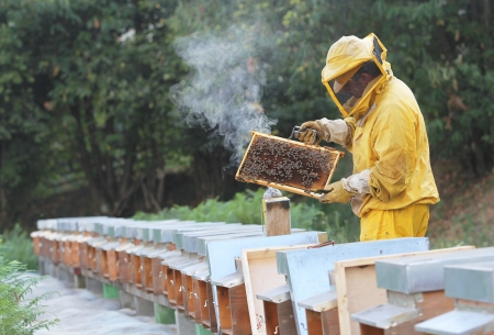 beekeeper: Beekeeper with honeycomb in hand , beehives in line . Apiculture job