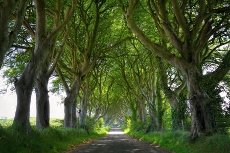 Fantasy woods of Dark Hedges with its strange shape trees. Northern Ireland Standard-Bild