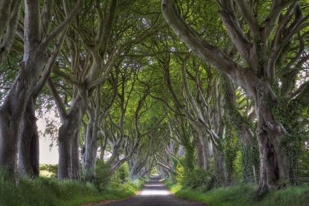 不思議な形の木と暗いヘッジ道。北アイルランド