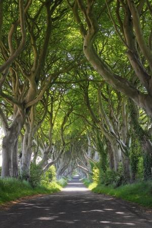 魔法の森の中暗いヘッジその奇妙な形の木。北アイルランド