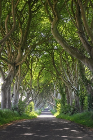 dark jungle green: Magical woods of Dark Hedges with its strange shape trees. Northern Ireland