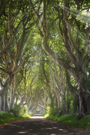 Dark Hedges with sun rays and  strange shape trees. Northern Ireland