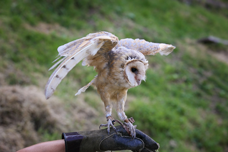falconry: Barn owl finding balance with open wings. Falconry Stock Photo