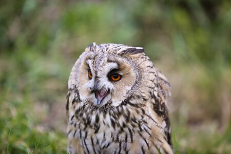nocturnal: Common horned owl portrait. Nocturnal bird of prey Stock Photo