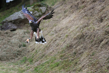 falconry: Common buzzard with wings open for land. Falconry image