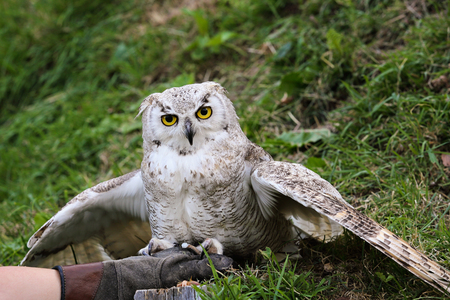 falconry: White owl on leather glove. Falconry
