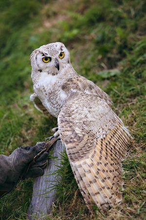 falconry: Beautiful white owl on a tree. Falconry
