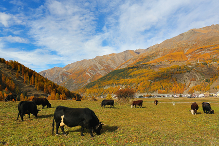 Alpine cows feeding in mountain meadow. Autumn season