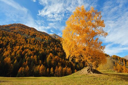 Beautiful birch tree in alpine mountain valley . Autumn colors