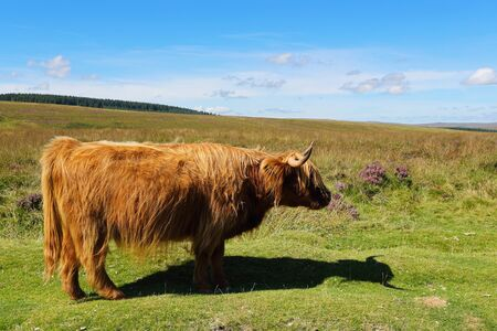 Angus ox free on cornish hills. Agriculture