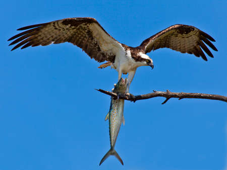 Osprey (Sea Hawk) with fish and open wings photo