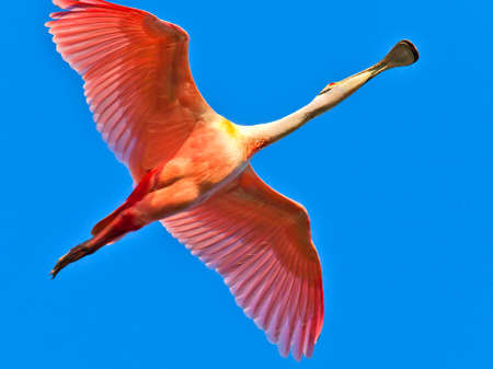 wing span: Roseate Spoonbill, Platalea ajaja, in flight against  blue sky Stock Photo