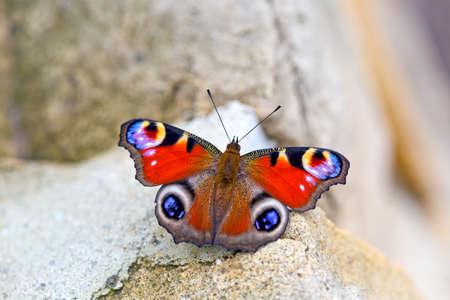 peacock butterfly: Mariposa del pavo real (Aglais io) posarse en piedra Foto de archivo